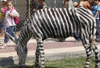 Zoo dyes donkeys to make zebras